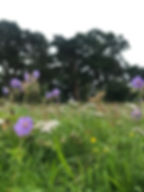 Cranesbill Wildflowers, Linn Park, Grass and Trees