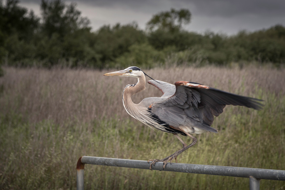 Great Blue Heron taking off_HD.jpg
