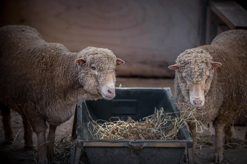Sheeps_HD.jpg