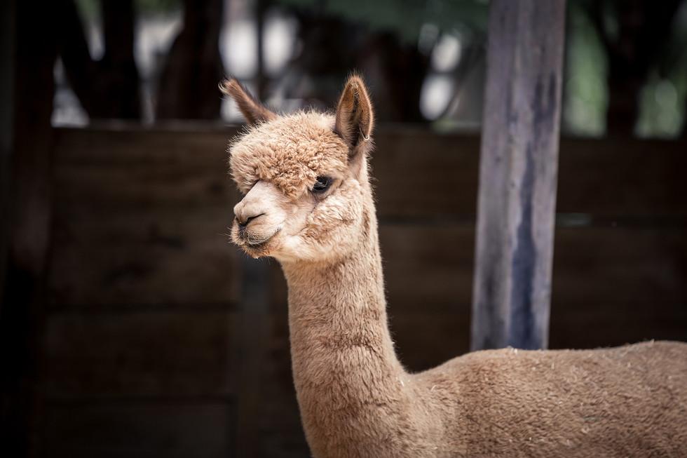 Alpaca 2_HD.jpg
