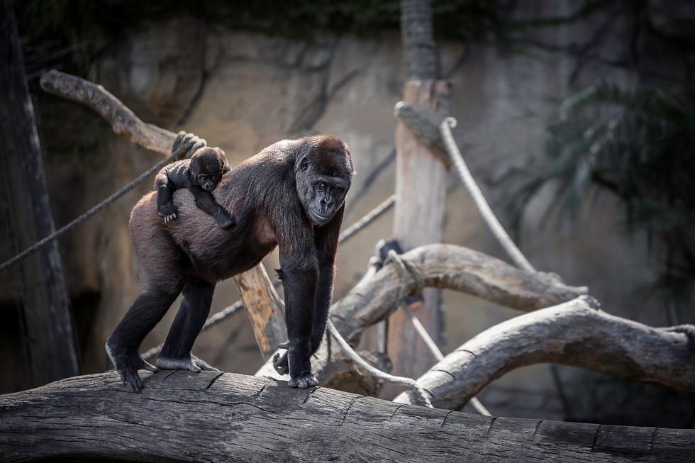 Gorilla carrying baby_HD.jpg