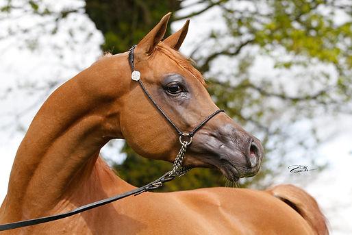 Kas Von Dutch, stallion, étalon, poulain, mâle, chevaux, pur sang arabe, pur russe, straight russian, arabian