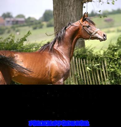 Valentino el clea, soho carol, ali jamaal, balaton, menes, stallion, étalon, PSA, pur sang arabe, élevage chevaux, endurance,
