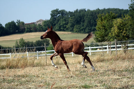 soho carol, ali jamaal, arabian, endurance, course, cheval, arabe, horse, Elevage