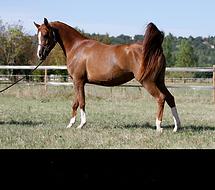 chevaux,cheval,pur sang arabe,pur sang,psa,ps