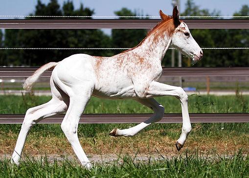 dominant white, DW, chevaux de couleurs, chevaux pie, chevaux de sport, chevaux de sport pie, Z, Zangersheide, CSO, CCE