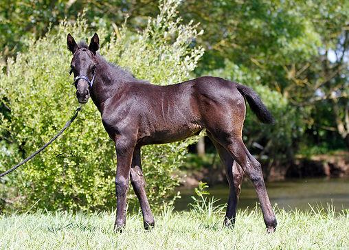 TM Fred texas, Barour de cardonne, tornado de syrah, pouliche, poulain, psa, ps, pur sang arabe, élevage chevaux, cheval