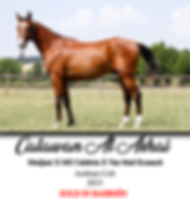 madjani,poulain,psa,pur sang arabe,cheval