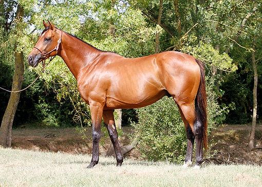etalon,stallion, pur sang arabe, arabian, Ali Jamaal, Soho Carol, Balaton, horse, cheval