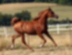 jument, straight russian, pur russe, arabian, endurace,course, cheval, arabe, horse
