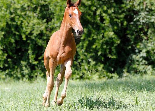 Galileo, pur sang, course, pur sang anglais, chevaux, élévage