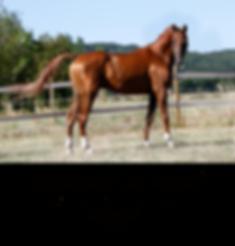 Vikenti Al Ashaï, arabian, stallion, PSA, Pur sang arabe, étalon, straight russian,