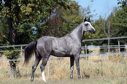 Darike, dormane, naswan, endurance,jument, pouliche, poulain, élevage, chevaux, psa, ps,pur sang arabe