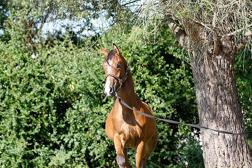 arabian, endurance,course, cheval, arabe, horse
