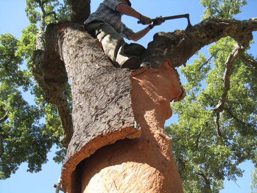 Cork-tree - Şarap Mantarı - Mantar meşesi