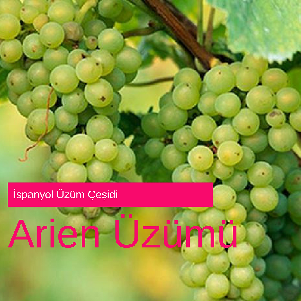 Arien Üzümü - Arien Grape