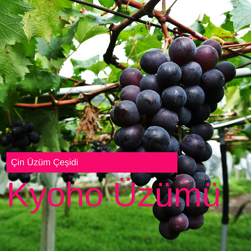 Kyoho Üzümü - Kyoho Grape