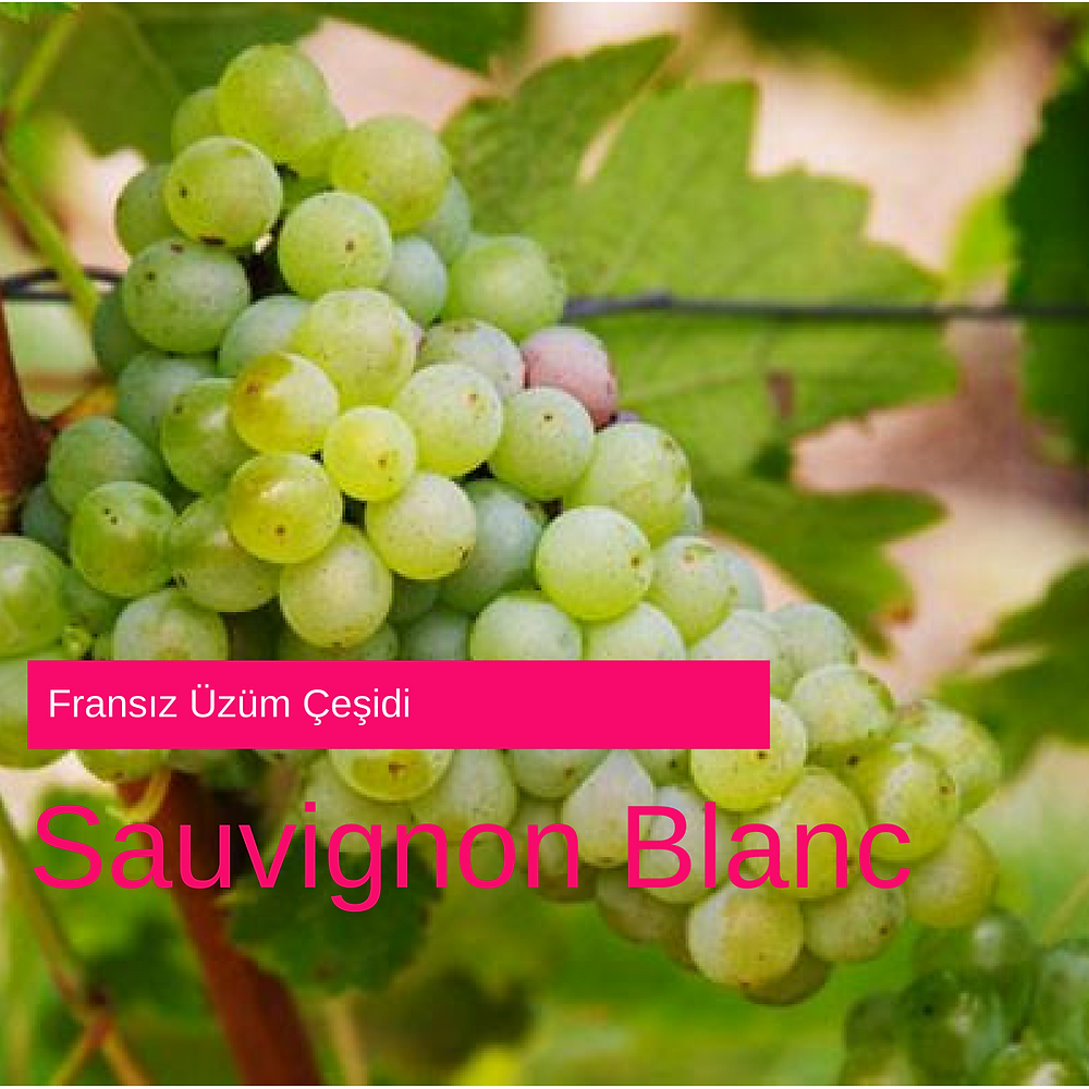 Sauvignon Blanc Üzümü
