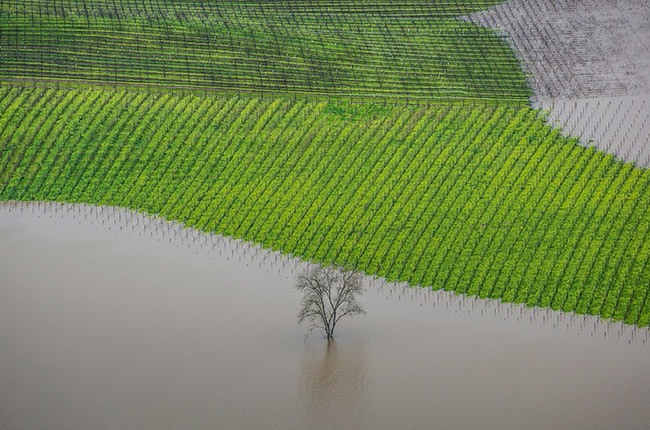 George Rose. Vineyard Flooding