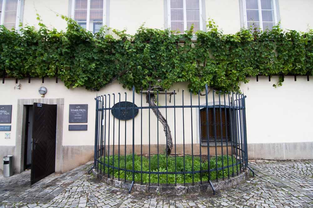 En yaşlı asma - The oldest grape vine in the world