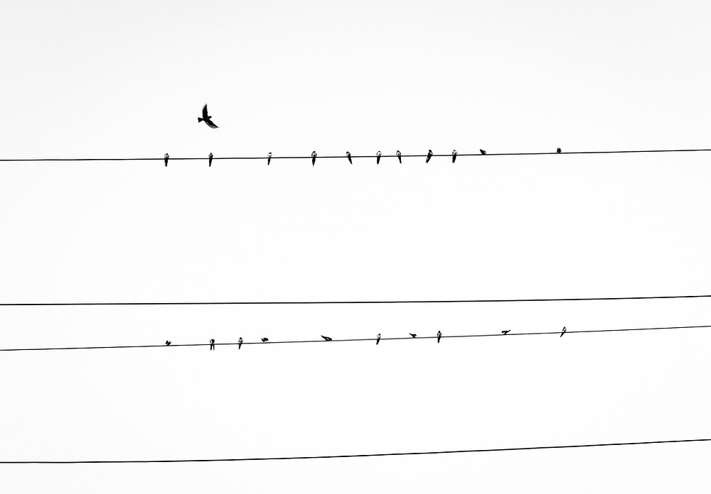 black and white birds on a powerline