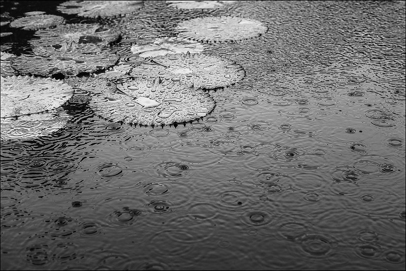 Black and white photograph of rain falling on lilypads in the water