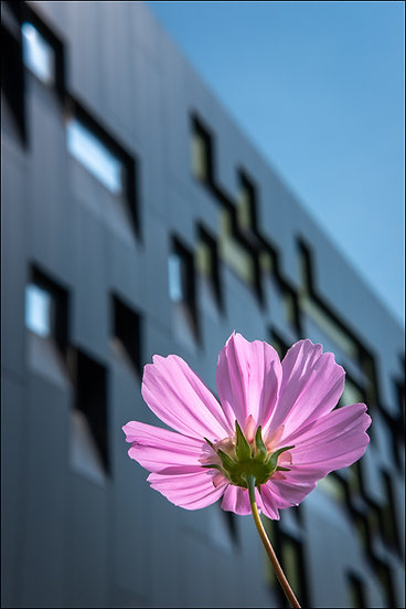 A pink flower in the foreground with the Perimeter Institute of Theoretical Physics in the background, Waterloo Ontario