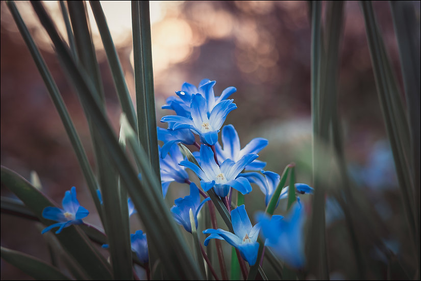 A cluster of blue spring flowers (Glory of the Snow) at sunset