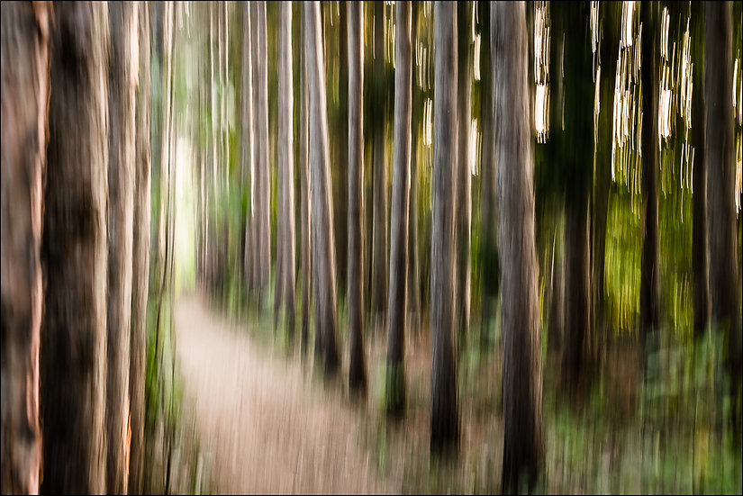 Abstract photograph of a path leading through a forest of tall pines