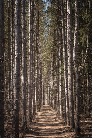 View of a straight, narrow path through the woods, lined with the trunks of tall pines