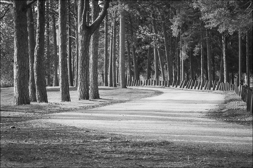Black and white photograph of a winding road through a grove of evergreen trees