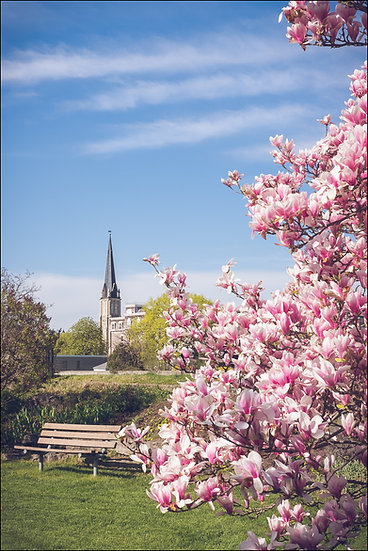 A blooming magnolia tree with Central Presbyterian Church in the background, Galt (Cambridge) Ontario Canada