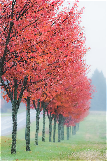 A line of maple trees with red leaves stretches into the distance