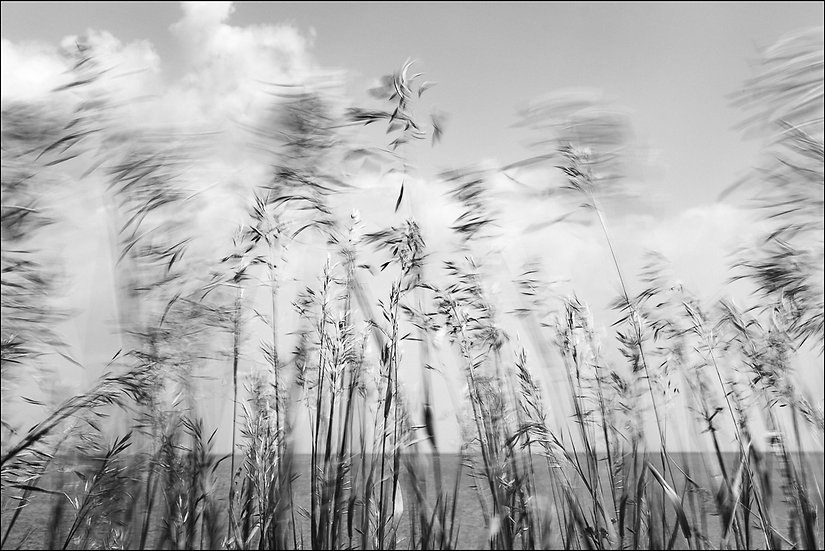 Black and white photograph of grasses blowing in the wind at the beach