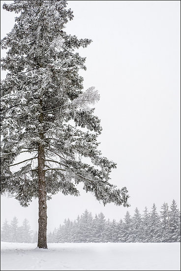 Snow-covered evergreen in the foreground with a line of evergreens in the distance