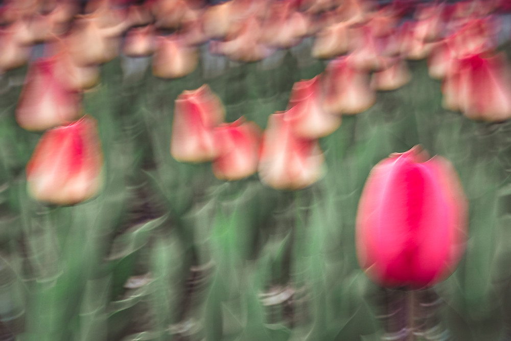abstract photo of a mass of red tulips using intentional camera movement