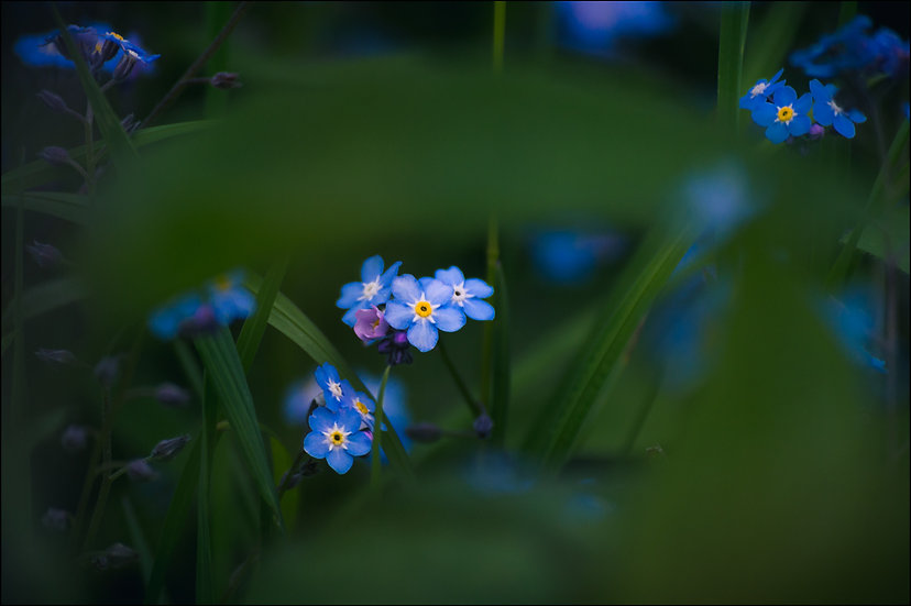 A cluster of blue Forget-Me-Not flowers