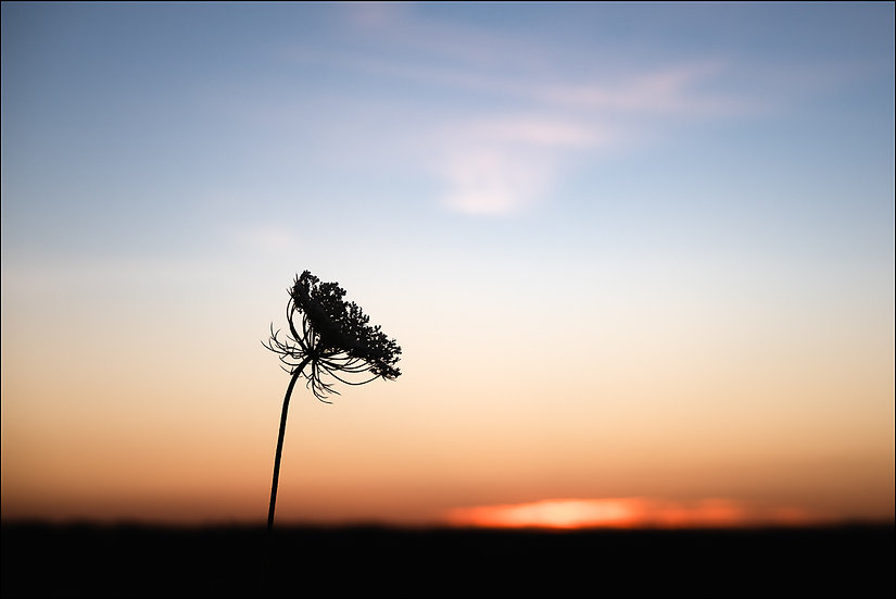 Silhouette of a single stem of Queen Anne's Lace in front of an orange sunset