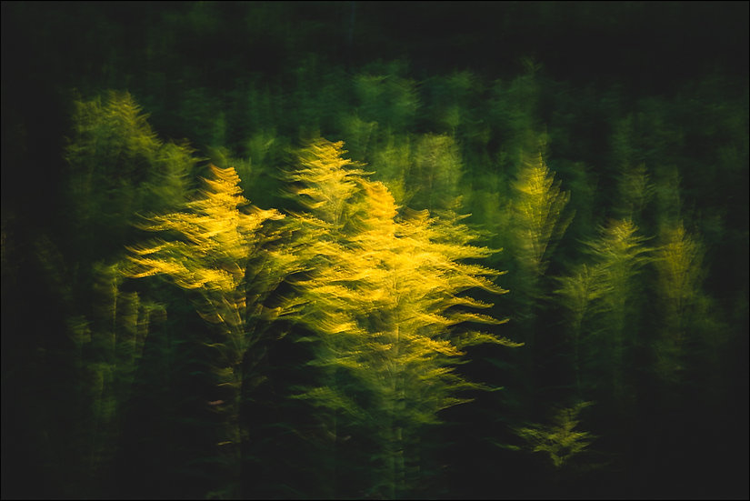 Abstract photograph (using intentional camera movement) of blurred yellow goldenrod flowers in a black background
