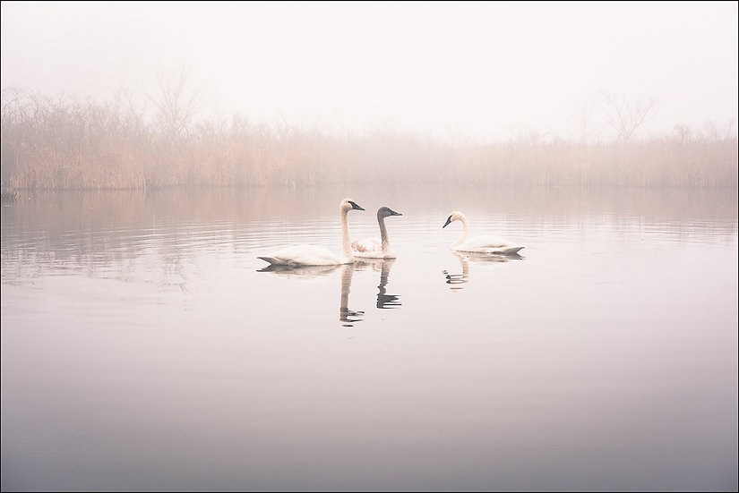 Three trumpeter swans floating together in the water during a foggy morning