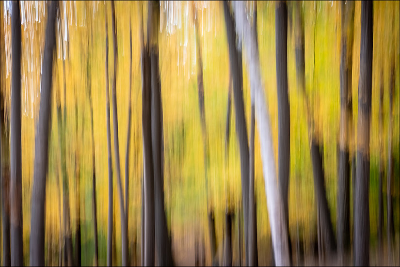 Abstract photograph of dark, blurred tree trunks and one white trunk, on a background of blurred yellow leaves
