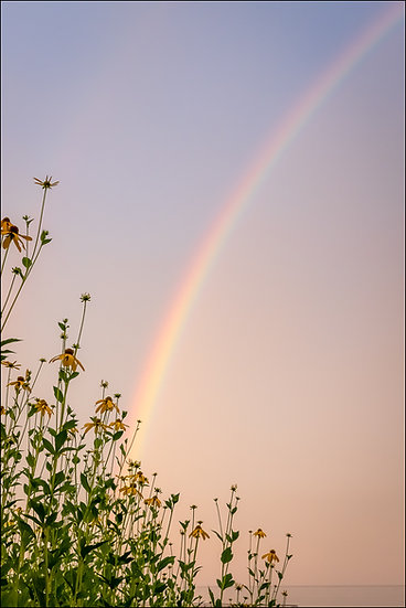 A rainbow in the sky with a cluster of Black-eyed Susan flowers in the foreground
