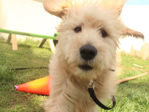 Rosie | Goldendoodle | Rancho Mission Viejo, CA - In Training