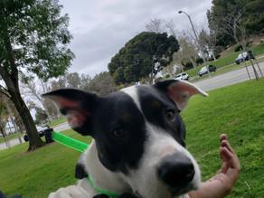 Momo | Australian Cattle Dog Mix | Los Angeles | In Training
