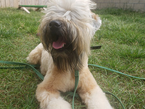 Briggs | Soft Coated Wheaten Terrier | Long Beach, CA | In Training