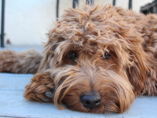 Shay | Goldendoodle | Hermosa Beach, CA | In-Training