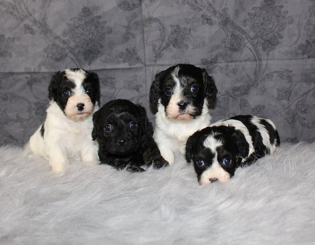 Black and white cavapoos