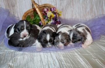 Merle newborns