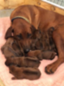 Tzeitel with pups 1.jpg