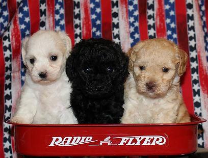 Baby Neely and Tilly; Zibeline and Georgio pups